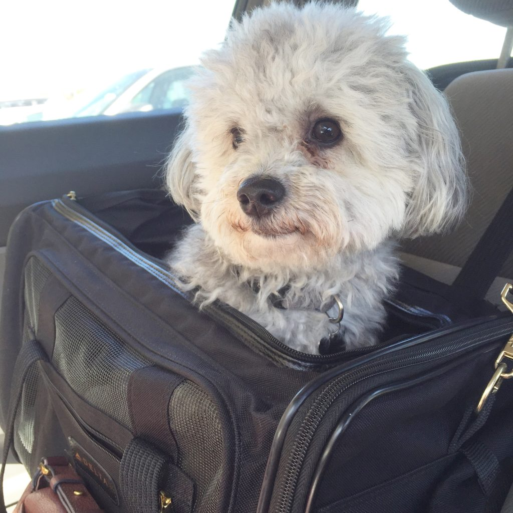 Check-In With Charley, Our 2.5 Year Old Maltipoo | Blairblogs.com